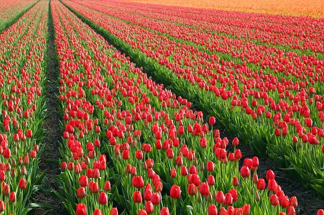 Bunga Tulip Merah