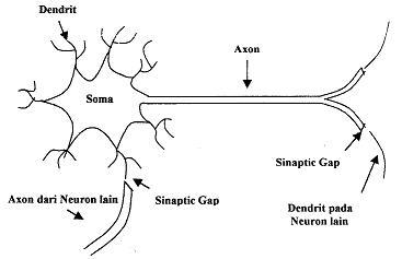 Axon, Dendrit dan Soma