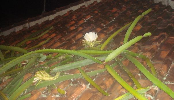Bunga Sampai Genteng