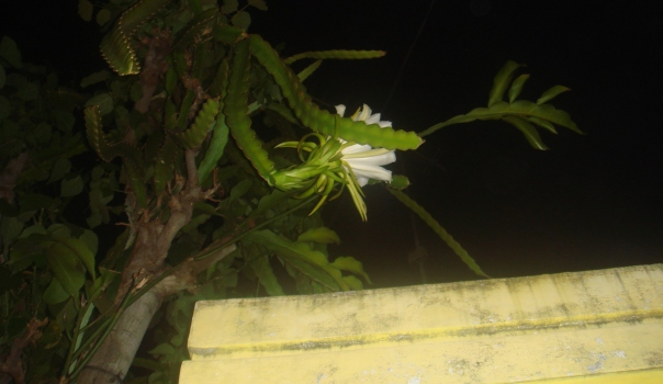 Bunga Naga Putih