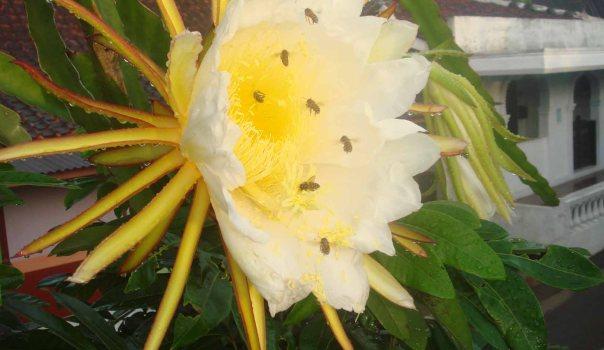 Lebah di Bunga Naga