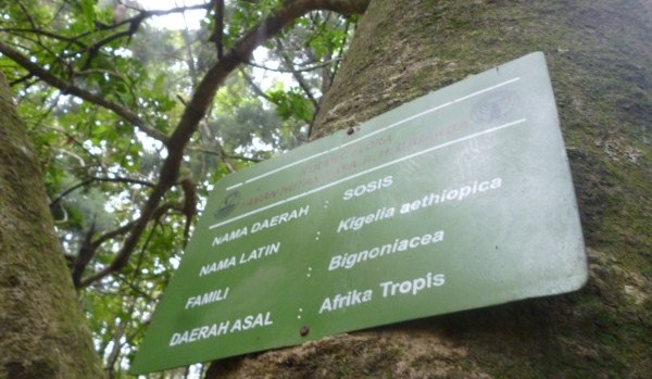 Pohon Sosis