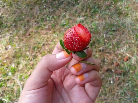 Menanam Strawberry